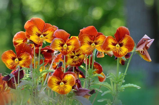 клумба, желто-оранжевые, цветы, анютины глазки
