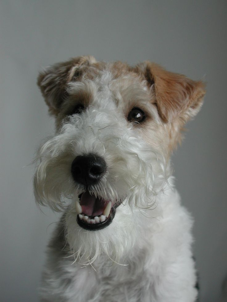 german wirehaired terrier 1000 images about doggies on pinterest beautiful 3469