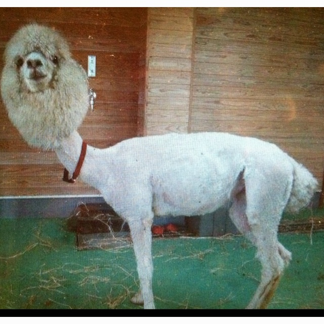 Here is a picture of a shaved Lama, Welcome to Pinterest