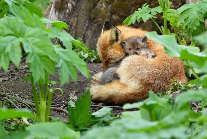 The beautiful fox, with its bushy tail and dog-like face is an efficient nocturnal creature which has 48 sub-species of fox including colour...