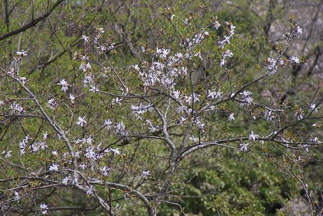 菰野田光地区  田光の「シデコブシ及び湿地植物群落」    菰野町田光に自生する貴重な自然的遺産のシデコブシ