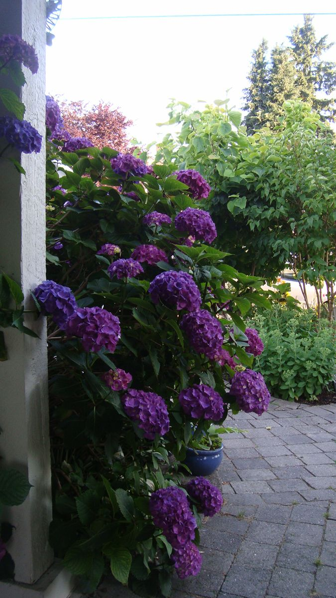 Oh wow, look at that intense color!  This garden is in North Vancouver, British Columbia