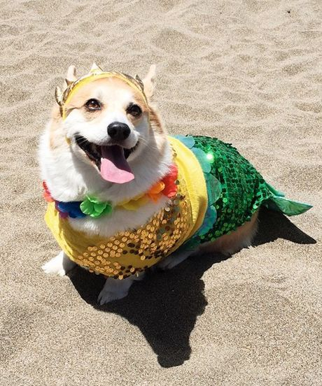 Corgi mermaid