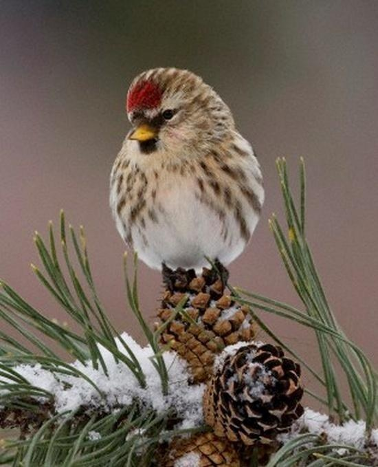 .I should know what this bird is! A redpoll perhaps?