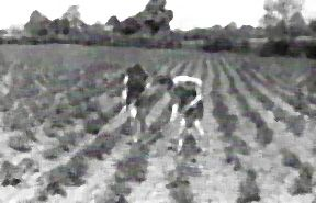 Landgirls hoeing potatoes in WWII at Gypsy Hall Farm, home of Frances Donaldson of A Woman's War (@WomansWar1)