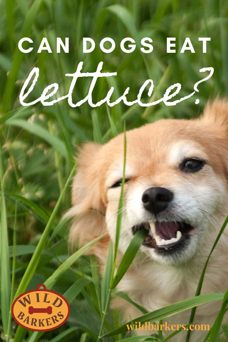 Can Dogs Eat Lettuce Can Dogs Eat Types Of Lettuce Wild Lettuce