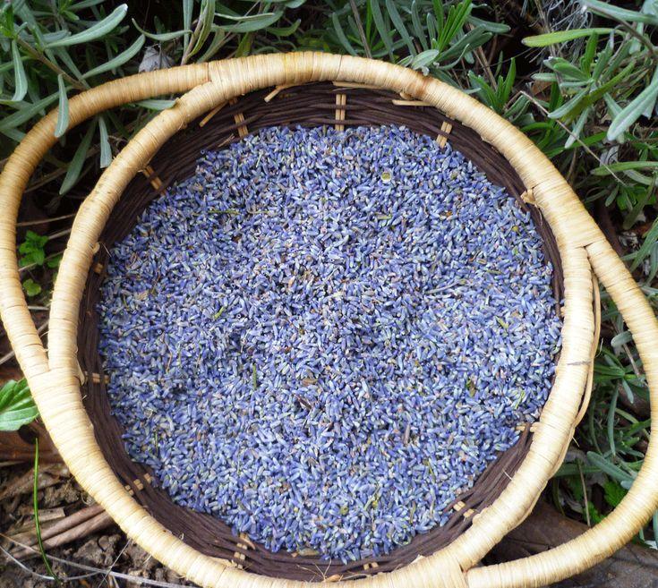 Lavender Buds (1 Pound)