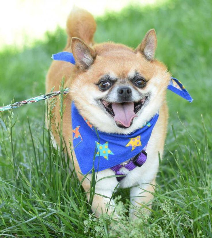 Meet Buddy180 a Petfinder adoptable Pomeranian Dog