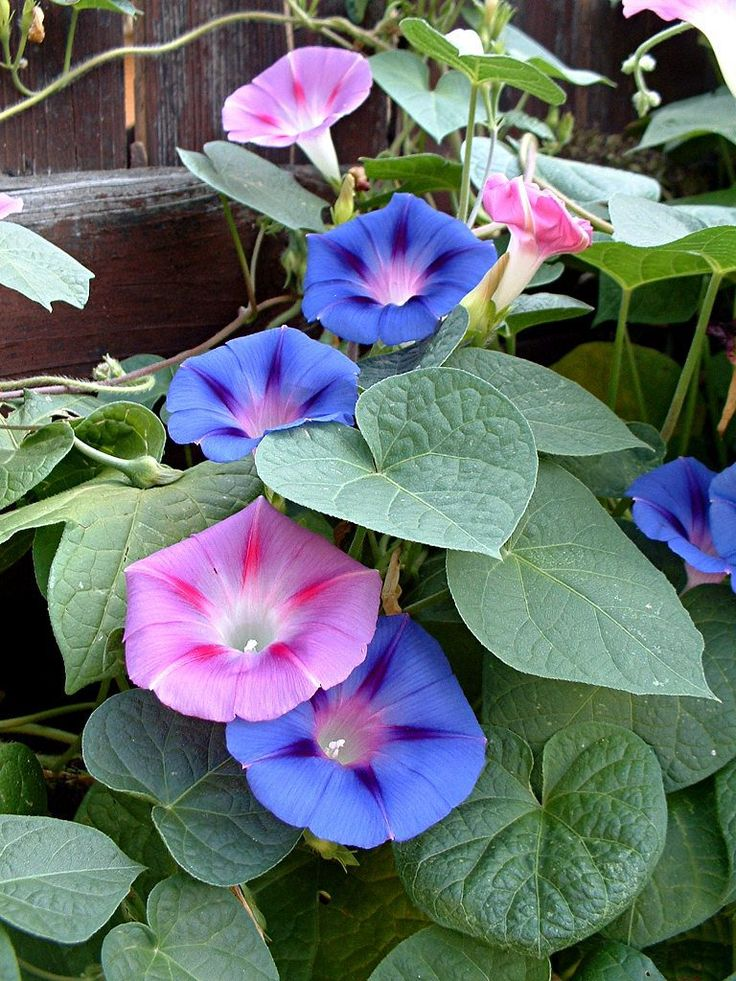1000 images about i flowers on pinterest for Ipomea purpurea