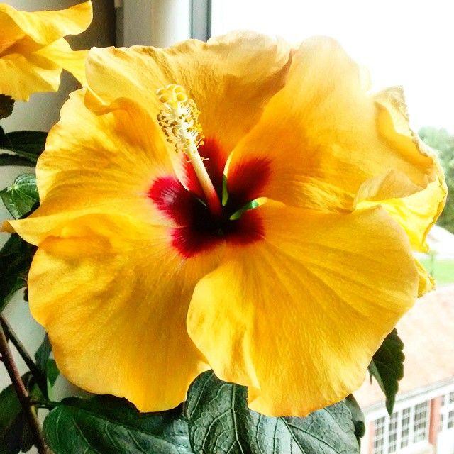 Mon deuxième Hibiscus !  #fleur #fleurs #flowers #flower #yellow #beautiful #nature #hibiscus #hibiscusflower #fleurhibiscus #present #cadeau #fiancailles #cadeaufiancailles