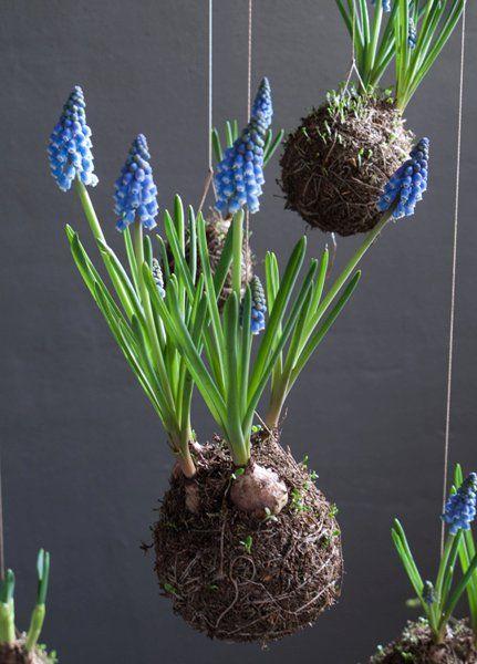 17. Muscari armeniacum - Blauw druifje. Bolgewas, voorjaar.