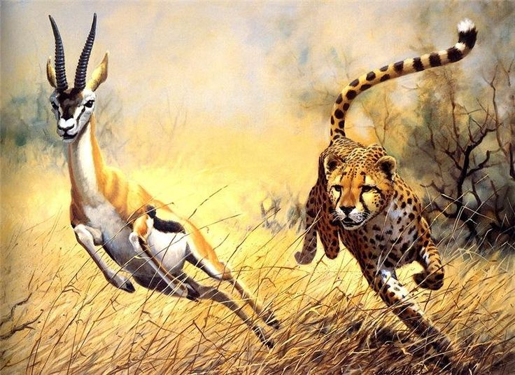 Cheetah chasing a Gazelle Big