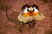 Frill-necked lizard (Chlamydosaurus kingii), also known as the frilled lizard or frilled dragon