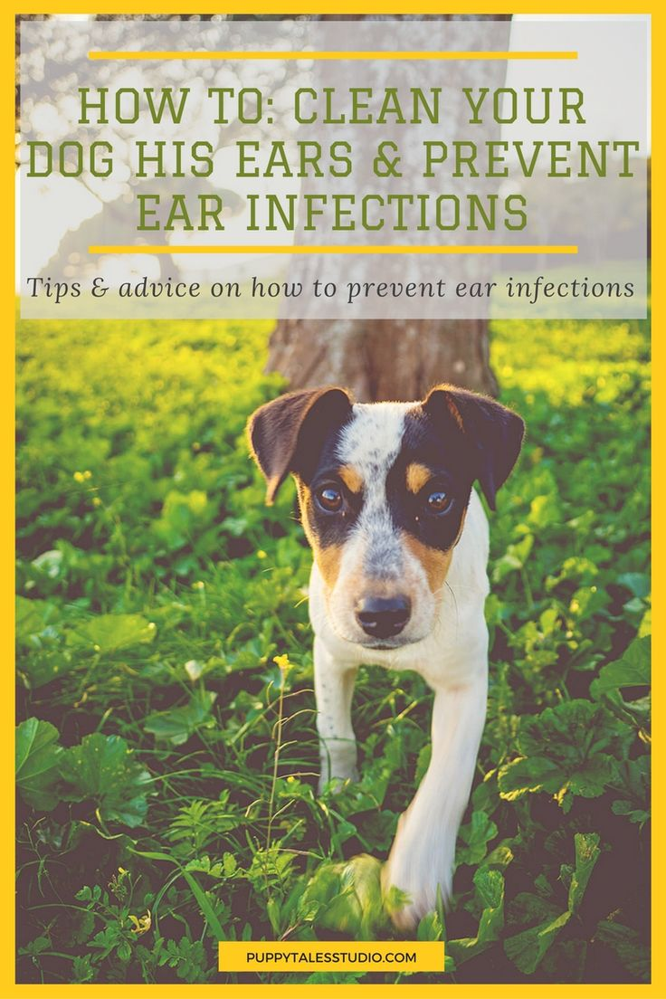how to get ear drops in dogs ears