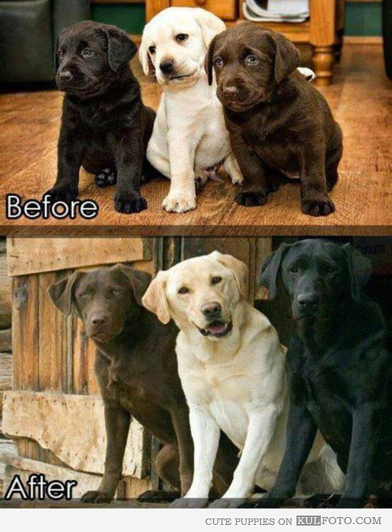 Labrador puppies before and after growing up to be beautiful dogs.