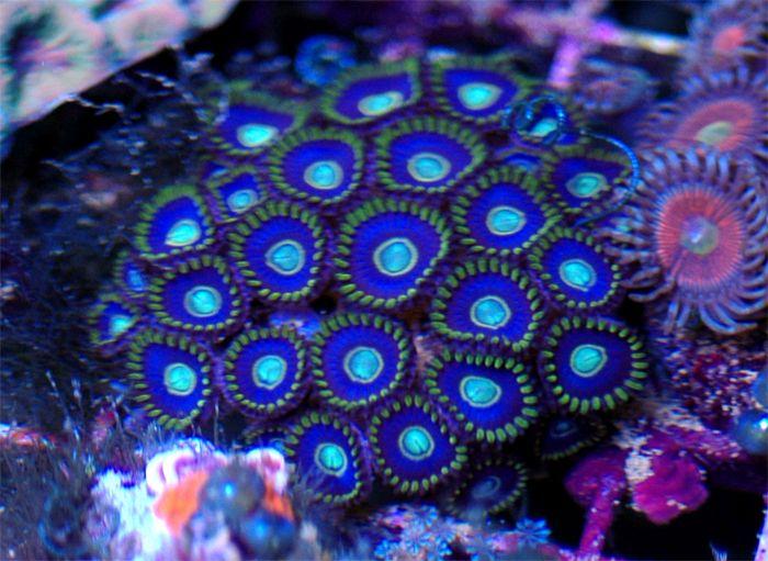 Blue Hornets zoas (2 polyps)