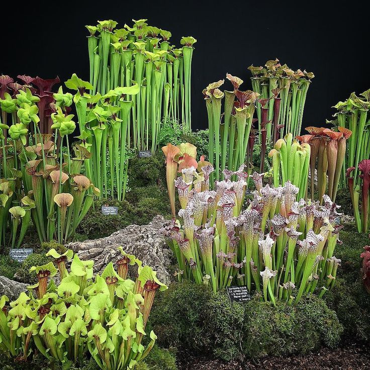It's time to start talking about Sarracenias. Carnivorous plants native to wetlands in the southeastern US many threatened by development AND the floral trade. Had a chat with a grower today at Chelsea Flower Show who believed there may be a  responsible grower in US but who also said many varieties grown in England are the last of the species. Tough times for bog plants. If anyone has more info please do let me know. #bugbear #ecofloristry #rhschelsea #flowerfarmer #slowflowers #sarracenia…