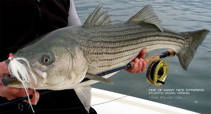 25 best ideas about chesapeake bay fishing on pinterest for Chesapeake bay fish