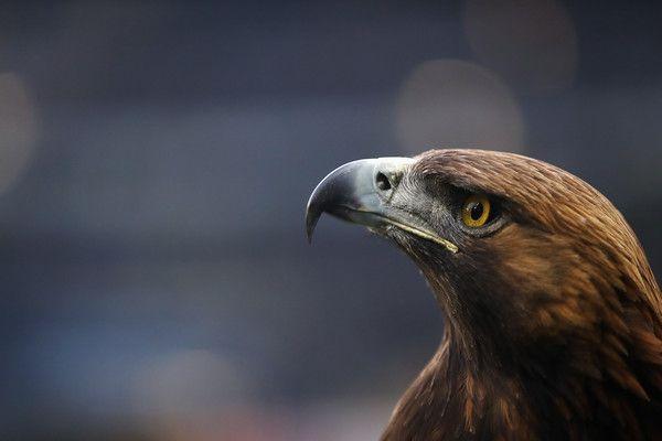 Mascot eagle Attila of Frankfurt looks on prior to the Bundesliga match between Eintracht Frankfurt and Werder Bremen at Commerzbank-Arena on April 7, 2017 in Frankfurt am Main, Germany.