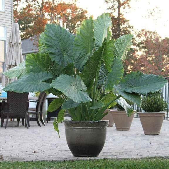 Commonly known as upright elephant ear, Alocasia macrorrhiza's glossy, bright green leaves add an exotic look to beds, borders and pots. The big paddle-shaped leaves are held upright to shed water and