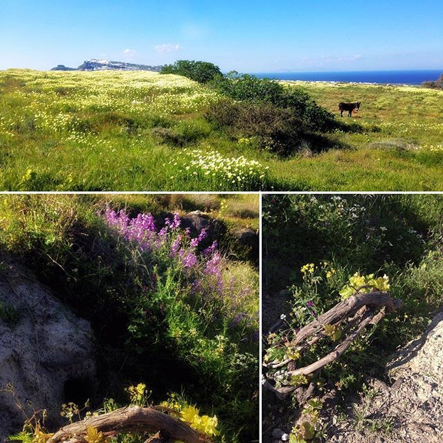 Wild lilacs, vineyard and a carpet of daisies. Spring in Santorini. #archipelmansion #luxuryvilla #santoriniheritage #vineyard #spring #santorinicaldera #authentic #experiencetheheritageofsantorini