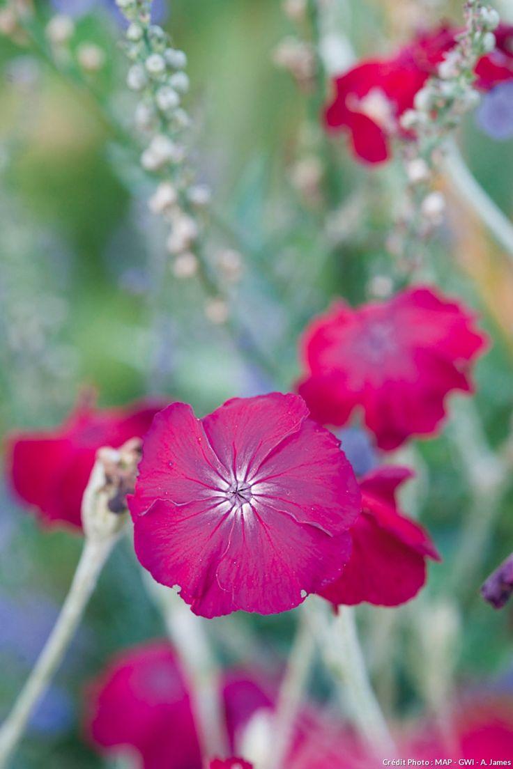 Coquelourde (Lychnis coronaria)  Une allée au sol damé ne lui fait pas peur ! Elle pousse au soleil ou à mi-ombre, dans tous les sols pas trop calcaires. Sa floraison est extrêmement longue, de mai à septembre. Elle se ressème facilement et ne devient jamais envahissante.