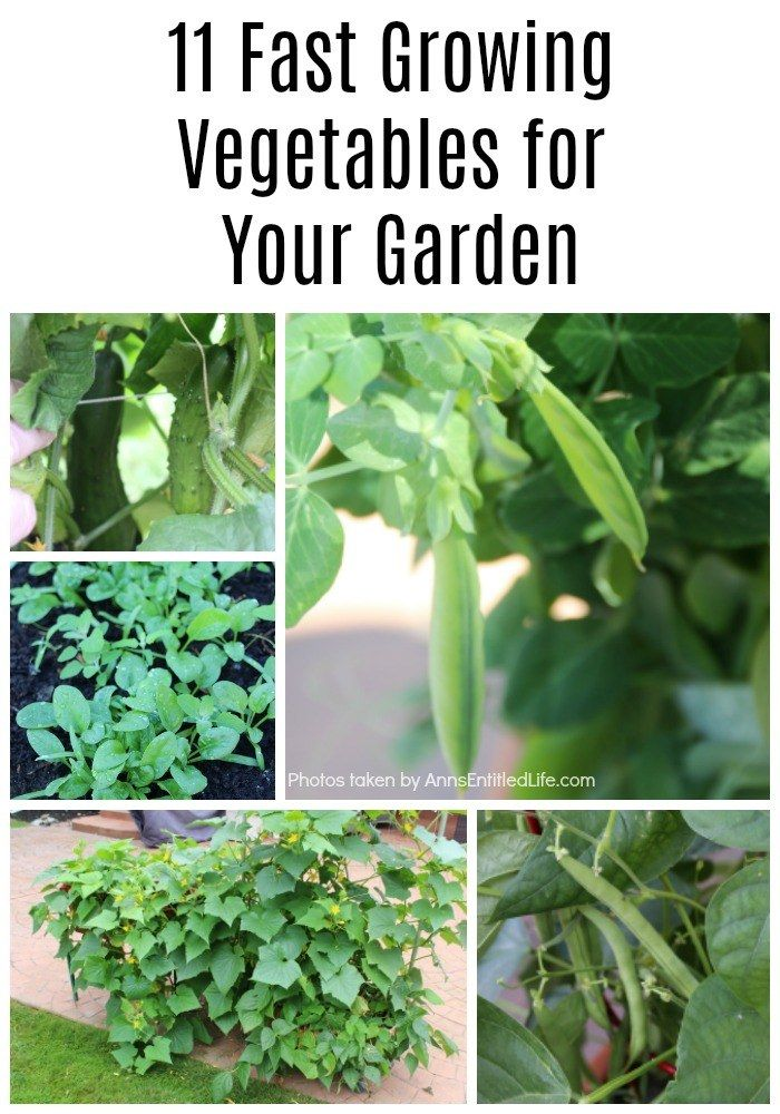 11 Fast Growing Vegetables For Your Garden There Are A Lot Of Vegetables That Take A Muc Growing Vegetables Fast Growing Vegetables Growing Vegetables In Pots