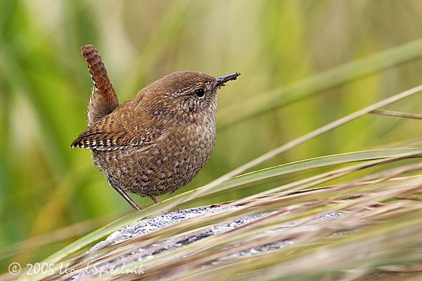 Winter Wren This Tiny Cutie Shows Up Only In The Winter