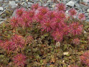 acaena_microphylla