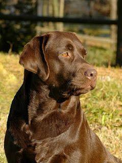 I ♥ brown ( chocolate )  labs - ik ♥ van bruine ( chocolade ) labradors