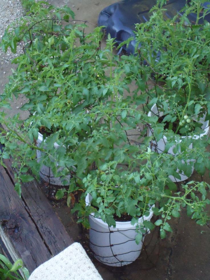 5 Gallon Buckets Tomato Plants And W**D On Pinterest 400 x 300
