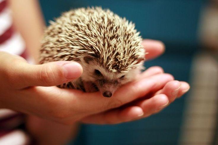 How Do You Take Care of Your Hedgehog's Teeth?