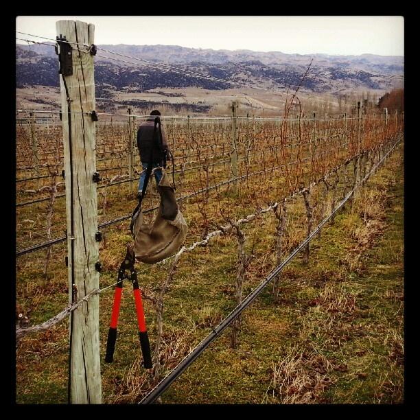 Pruning at the Pisa Vineyard, threatening to rain or snow ...