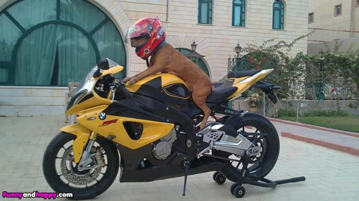 Funny Pictures Gallery Funny Dog With Helmet On A Bike