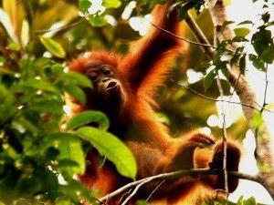 via Orangutan Conservancy--one of my favorite animals :3