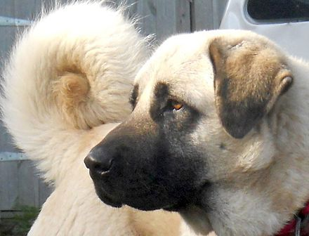 Anatolian Shepherd - Wikipedia, the free encyclopedia