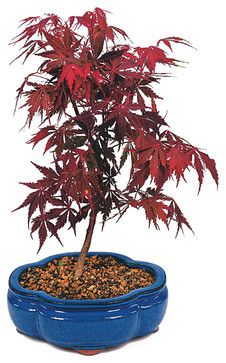 Japanese Red Maple  Bonsai Tree asian plants
