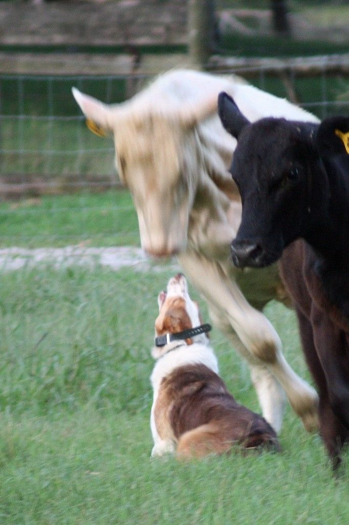 Kitt | C-C Ranch Border Collies for sale in Alabama