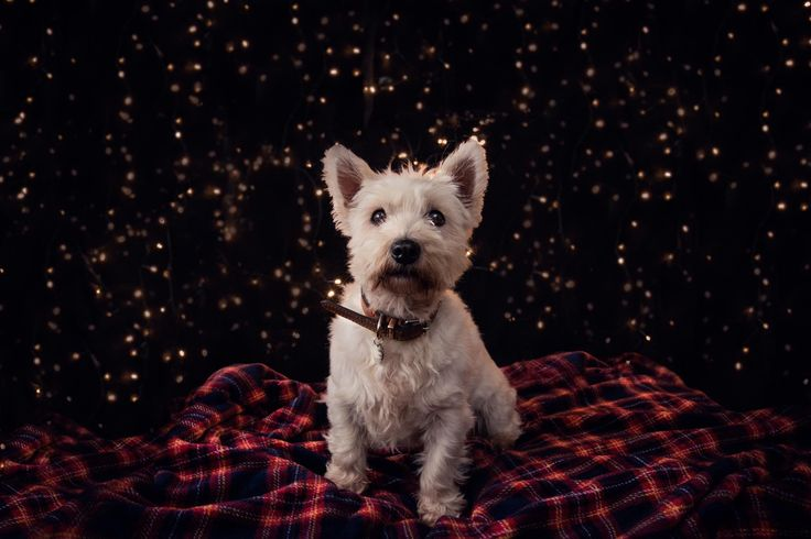Eventography - UK based photography & videography company. Christmas Pet Photography Molly the Westie, West Highland Terrier.