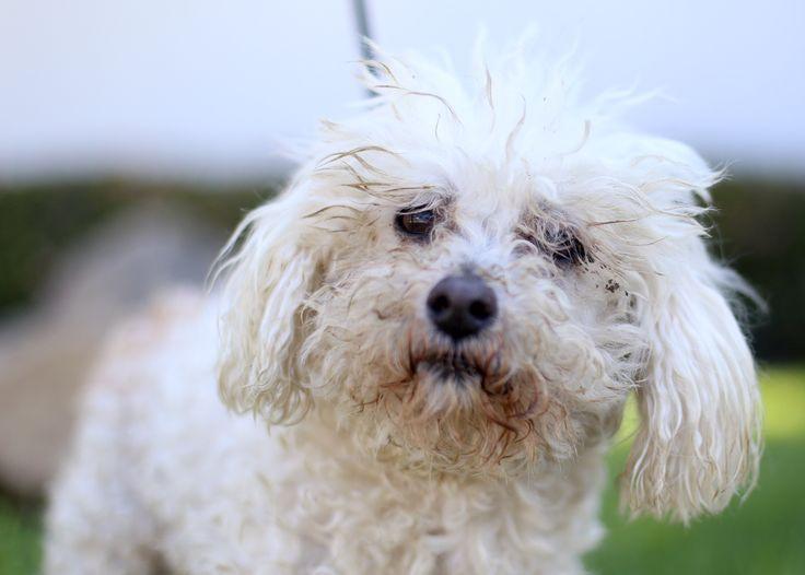 Maltipoo dog for Adoption in El Cajon, CA. ADN-508383 on PuppyFinder.com Gender: Male. Age: Adult