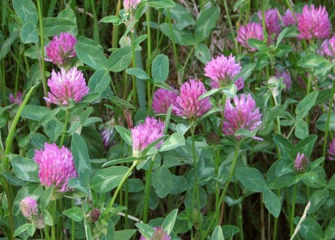 Red Clover (Trifolium pratense) | LONE PINE