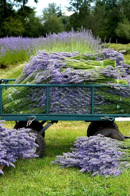#Lavender harvest - beautiful http://www.whitepetalsandpearls.com