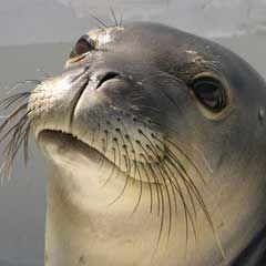 Save the Hawaiian Monk Seal   www.marinemammalcenter.org « Kudosz Cares