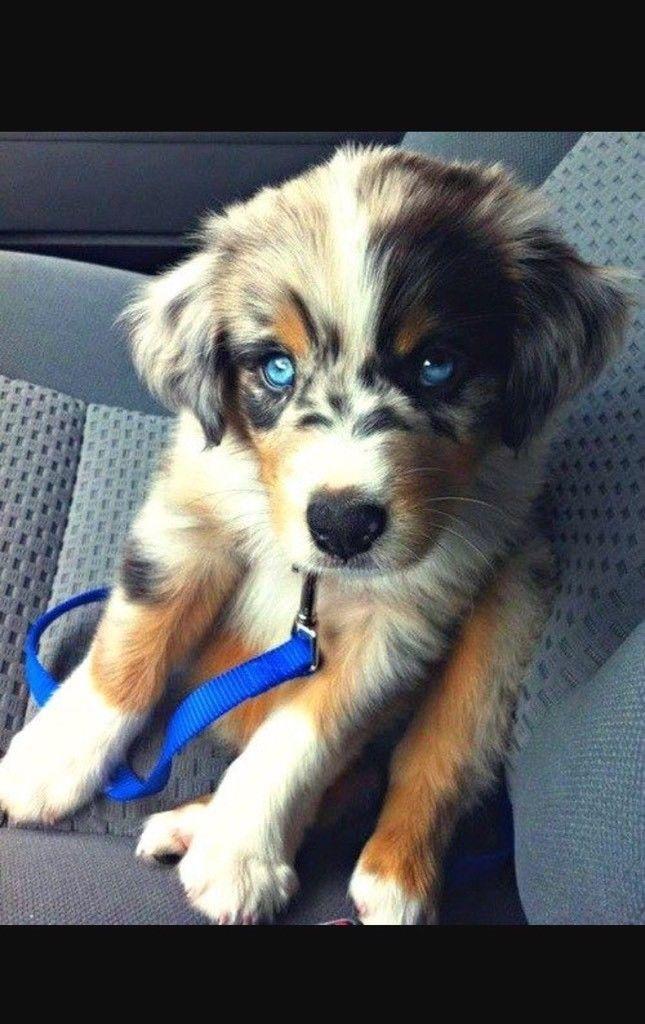 Australian Shepard Husky Mix Welpe In Bayern Schollnach Mischlinge Und Mischlingswelpen Kaufen Ebay Kleinanzeigen Au Dog Crossbreeds Animals Puppies