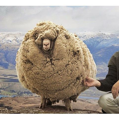 winter style inspiration: Shrek the sheep that avoided being sheared for SIX years #winteriscoming