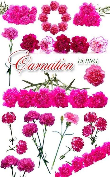 Гвоздики / Carnation  Ярко-розовые гвоздики на прозрачном фоне