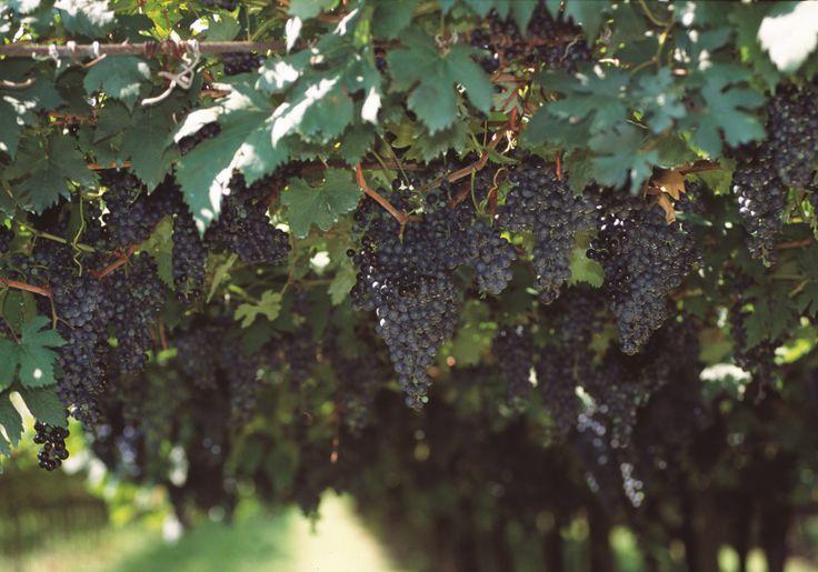 #grape of #lakegarda #wineregion #localproduct @Lago Di Garda Lombardia