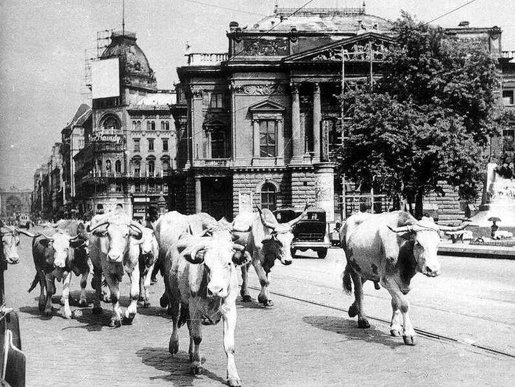 Vágóhídra hajtott marhacsorda a Blaha Lujza téren, Budapest, 1947. július.