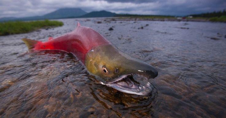 No parque de Wood-Tikchik, no Alasca USA, um salmão descansa antes de subir o rio. Todas as cinco espécies de salmão do Pacífico - rei, vermelho, rosa, prateado e chum - desovam no rio Wood e no sistema Tikchik.  Fotografia: Michael Melford/ National Geographic Creative.