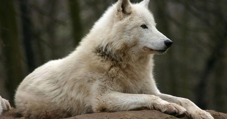 Datos sobre los lobos de la tundra. El lobo de la tundra es otro nombre para el lobo ártico. Los lobos de la tundra se consideran una subespecie del lobo gris. El animal debe su nombre a su hábitat, que abarca varias regiones del Ártico. Los lobos de la tundra muestran varias características que los distinguen del gris y el lobo de madera y están especialmente adaptados para la vida ...